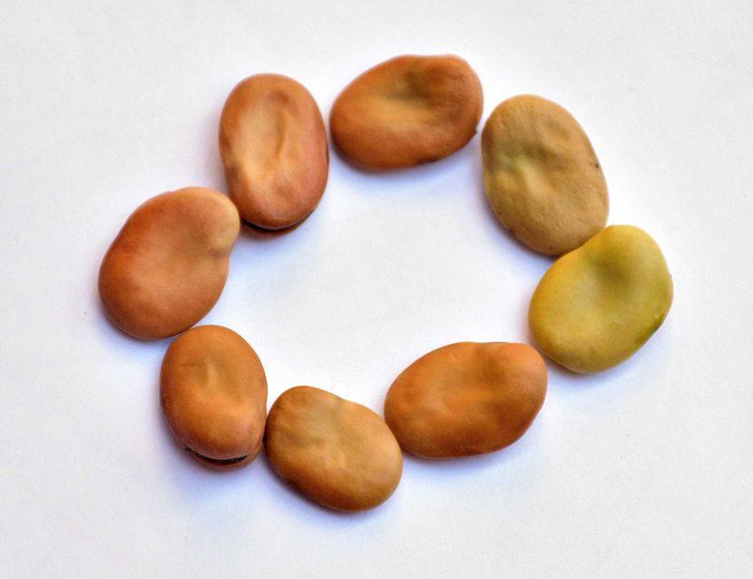 Broad beans, fava beans, faba beans, vicia faba